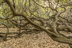 Det största kasjuträdet i världen arkivbild