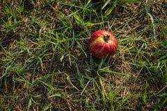 Det stora äpplet har friskhet och bra färger, bra mat Arkivbilder