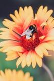 det stora biet stapplar Fotografering för Bildbyråer