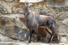 Det stora djuret gillar en get på zoo av Berlin i Tyskland Fotografering för Bildbyråer
