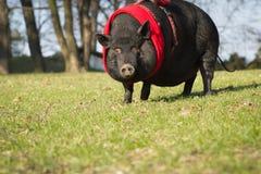 Det stora/enorma gulliga svinet på det långt går i parkera/den botaniska garden royaltyfria bilder