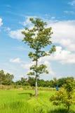 Det stora ensamma trädet på en grön äng mot de molniga blåtten sk arkivfoton
