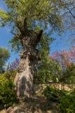 Det stora gamla trädet parkerar in den konstiga formen med blå himmel Royaltyfri Fotografi