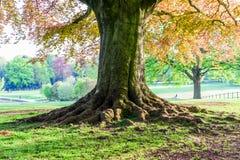 Det stora gamla tr?det som v?xer i brittiskt, parkerar royaltyfria bilder