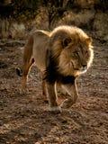 Det stora manliga lejonet går i öknen arkivbilder