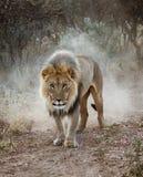 Det stora manliga lejonet går i öknen arkivfoton