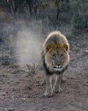 Det stora manliga lejonet går i öknen arkivbild