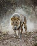 Det stora manliga lejonet går i öknen royaltyfria bilder