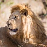 Det stora manliga lejonet vilar i Afrika Royaltyfri Foto