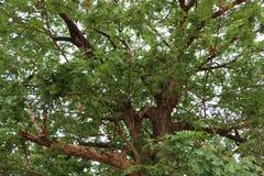 Det stora och gamla trädet Arkivbild