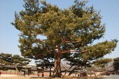 det stora trädet i koreansk slott Royaltyfria Foton
