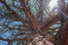 Det stora trädet med filialen förstorar arkivfoton