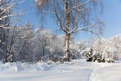 Det stora trädet med täckt snö förgrena sig, det härliga vinterskoglandskapet, kall solig dag blå sky för bakgrund royaltyfri fotografi