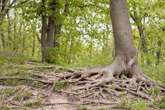 Det stora trädet rotar Royaltyfria Bilder
