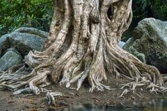 Det stora trädet rotar Fotografering för Bildbyråer
