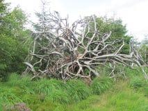 Det stora trädet rotar Arkivfoto