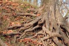 Det stora trädet rotar i parkera Royaltyfria Bilder