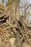 Det stora trädet rotar i parkera Arkivbild