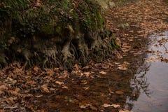 Det stora trädet rotar in i sjön Arkivbild