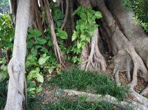 Det stora trädet rotar och grönt gräs royaltyfri fotografi