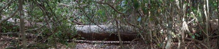 Det stupade trädet är bushland Fotografering för Bildbyråer