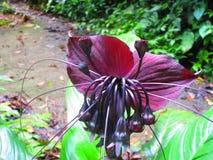 Det svarta slagträet blommar, Taccachantrierien släktet Tacca Arkivbilder