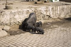 Det svarta svinet med behandla som ett barn på gatan royaltyfri bild