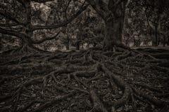 Det svartvita bokträdträdet och rotar systemet Fotografering för Bildbyråer