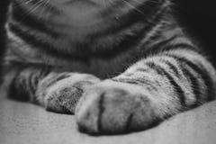 Det svartvita horisontalfotoet av en brittisk Shorthair katt tafsar och morrhår arkivfoto