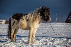 Det svartvita ponnyanseendet i snön och att rymma piskar i munnen royaltyfria bilder