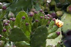 Det taggiga päronet paddlar med frukt och blommar royaltyfria foton
