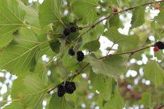 Det tid för ` s att riva av det svarta läckra mullbärsträdträdet Arkivbilder