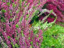 Det tidiga höstskottet av vit ljung för rosa färger och blommar Royaltyfri Bild