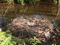 det tomma redet för den stumma svanen med ris för en äggvårgång traver royaltyfri fotografi
