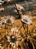 Det torra fältet blommar förgrund royaltyfri fotografi