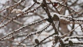 Det torra filialträdet med sörjer landskap för snö för kottevinternatur lager videofilmer