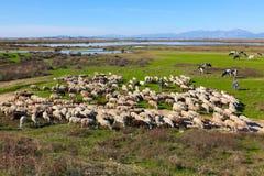 Det traditionella lantbruk - valla med hans fårflock Fotografering för Bildbyråer