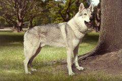 Det trevliga unga wolfdoganseendet för stående parkerar in Arkivbilder
