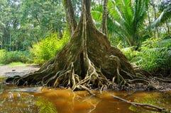 Det tropiska trädet med stödet rotar i Costa Rica Arkivbilder