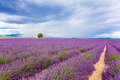 Det typiska landskapet av lavendel sätter in Provence, Frankrike Arkivfoton