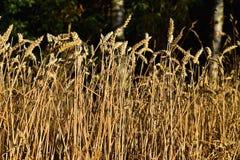 Det Undeaded veteörat i skogen solen är glänsande på korn Royaltyfri Bild