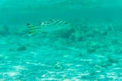 Det undervattens- skottet fiskar i det djupa tropiska havet Arkivfoto