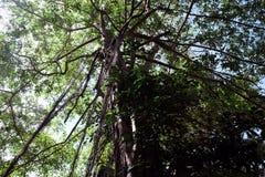 Det unga banyanträdet tar rotar från filialerna till jordningen Krona av ett branchy tropiskt träd royaltyfria foton