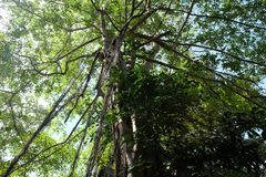 Det unga banyantr?det tar rotar fr?n filialerna till jordningen Krona av ett branchy tropiskt tr?d arkivfoton
