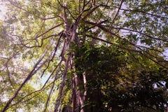 Det unga banyantr?det tar rotar fr?n filialerna till jordningen Krona av ett branchy tropiskt tr?d arkivfoto