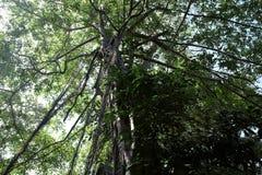 Det unga banyantr?det tar rotar fr?n filialerna till jordningen Krona av ett branchy tropiskt tr?d royaltyfri foto