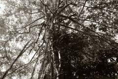 Det unga banyantr?det tar rotar fr?n filialerna till jordningen Krona av ett branchy tropiskt tr?d royaltyfri bild