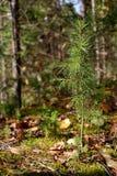 Det unga cederträet som växer i Sibirien Arkivbild