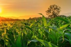Det unga fältet för grön havre i jordbruks- trädgård och ljus skiner solnedgång royaltyfria foton