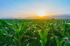 Det unga fältet för grön havre på Thailand den jordbruks- trädgården och ljus skiner solnedgång royaltyfria bilder
